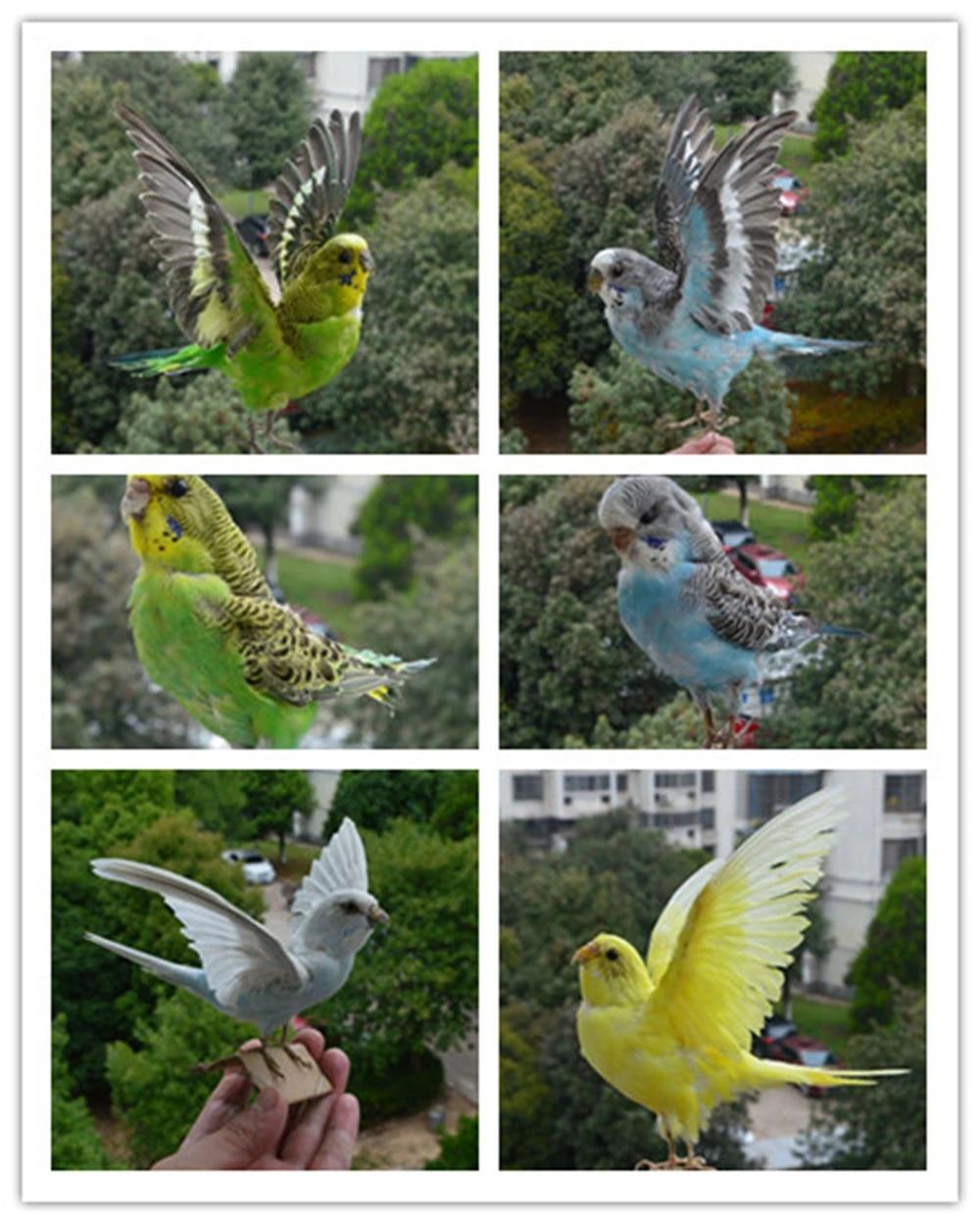 Decoration Taxidermy stuffing Eurasian Parrot specimen Teaching