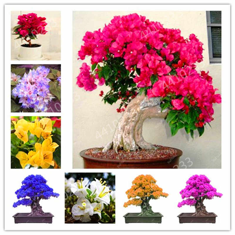 Big promotion! Bonsai 100 Pcs Rare Rose Pink Bougainvillea Spectabilis Perennial Bonsai Plant Flower Plantas, Natural Growth for
