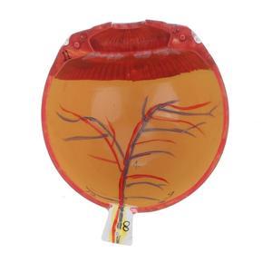 Image 5 - 6 teile Vergrößert 3X auge Anatomie Modell Menschliche Auge Ball Modell Medizinischen Anatomischen augen Lehre Experimentelle Modell