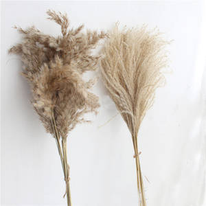 Reed-Flowers Grass Dried Pampas Bulrush Natural Bunch 20pcs Communis Phragmites