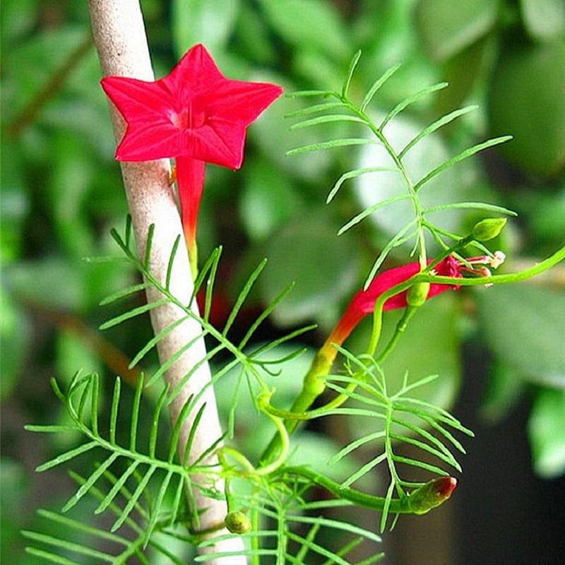 Пинеллия цветок семена% 2C вьющийся виноград вьющийся цветок семена открытый сад посадка 10 шт.