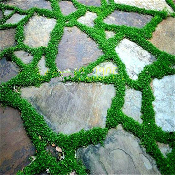 300-Pcs-Japanese-Forest-Grass-lawn-Perennial-Evergreen-Lawn-bonsai-plant-Beautiful-Garden-Ornamental-Plant-Easy (3)