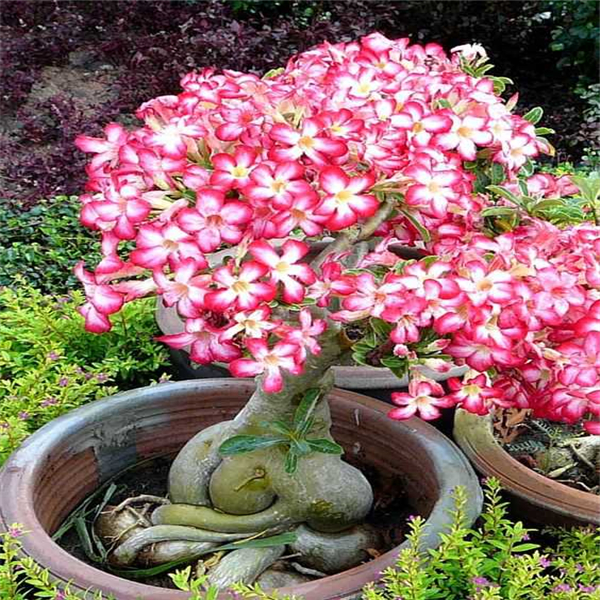 100% True Adenium Obesum Bonsai Exotic Desert Rose Flowers Balcony Desert-Rose Bonsai MultiColor Petals Succulents Tree 1 Pcs