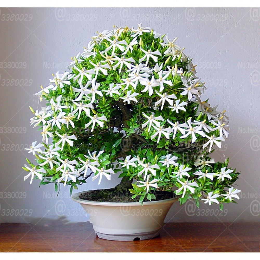 50Pcs Jasmine Bonsai Jasminum Sambac Flowers White Jasmine Flower Very Fragrant Indoor Flowering Pot Plant Bonsai Plants