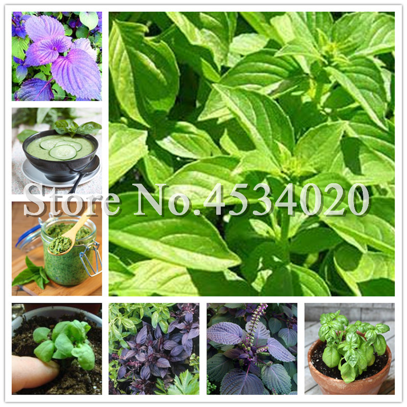 200 Pcs Basil Sweet Ocimum Basilicum Vegetable Fragrant For Home Garden Planting Medicinal And Aromatic Plants Easy To Grow