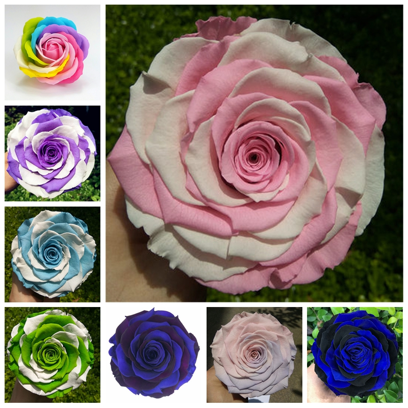 500 Pcs / Bag Rare Mixed Color Rainbow Rose Tree Flower Outdoor & Indoor Rosa Potted Balcony DIY Plant For Home Garden Decor