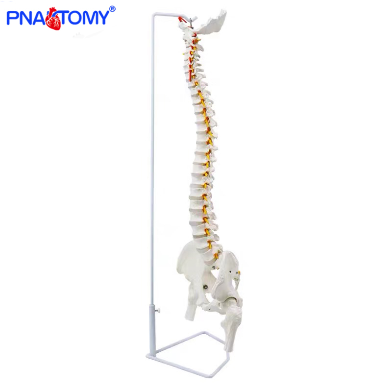 85cm Hanging Human Flexible Spine Model Vertebral Column Anatomy Model Life Size Sacrum Coccyx Pelvis Bone Anatomical Tool