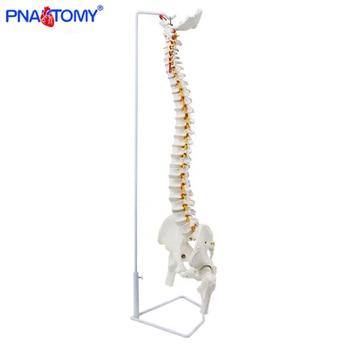 85cm hanging human flexible spine model vertebral column anatomy model life size sacrum coccyx pelvis bone anatomical tool human hip bone model hip joint model life size bone ligaments medical teaching tool hospital used anatomical model pelvis bone