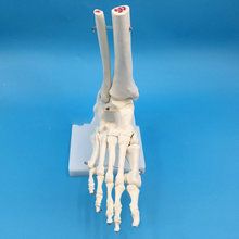 1:1 ноги совместное модель ног медицинская скелета исследования