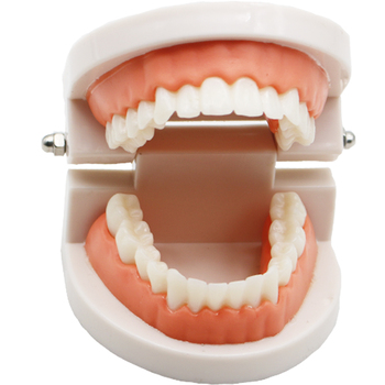 1 pcs Teeth Model Pro Adult White Teeth Model Standard Dental Teaching Study Typodont Demonstration Oral Medical Education Tools lower jaw of adult dentition model teeth dental model