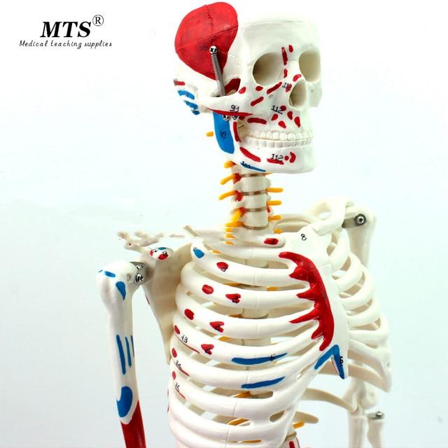 Autentyczny Deluxe 85CM Model ludzkiego manekina z rdzeniem kręgowym Model medycznego szkieletu nauczania medycznego