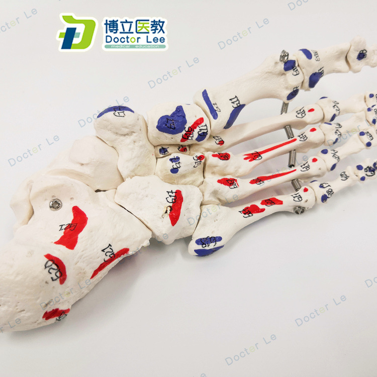 1:1 Life-sized Digital Sign Human Foot Joint Medical Anatomical Model Simulation Teaching