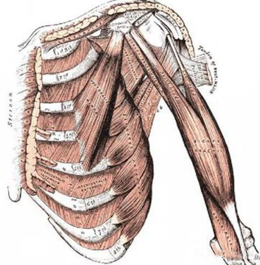 skeletal muscles musculi skeleti