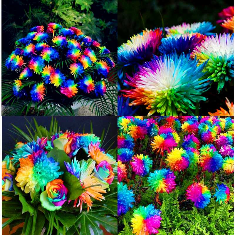 200 PCS Seeds Rainbow Chrysanthemum ...