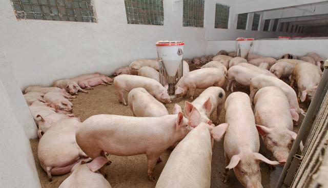 """农民致富还能靠养猪吗?都知道猪价是""""炒""""出来但还在吃,都不傻插图(4)"""