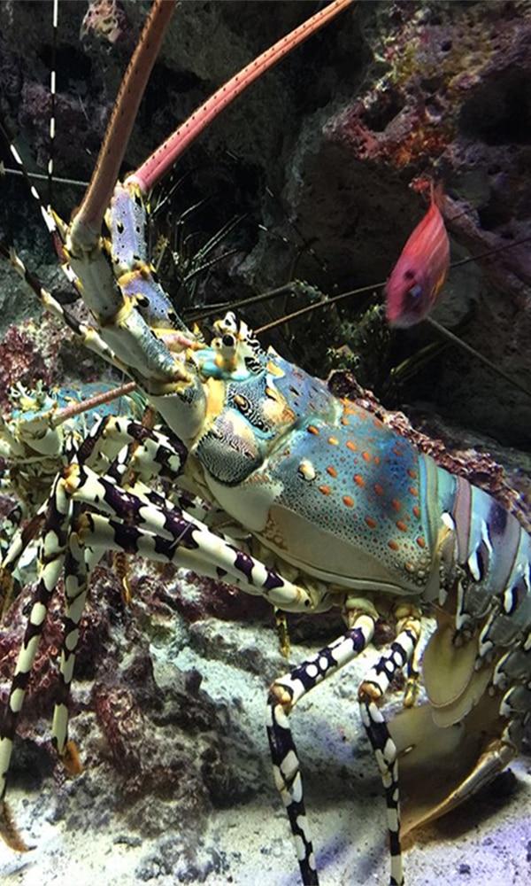 《龙虾》封面图片