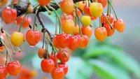 变异的樱桃可以吃吗 樱桃畸形怎么办-养生法典