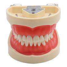 Dental Teaching Model Teeth Model Standard Model with 32 Screw in Teeths Demonstration Soft Gum