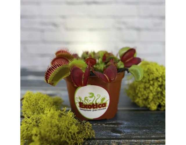 Венерина Мухоловка, venus flytrap, хищное растение, Dionaea, дионея