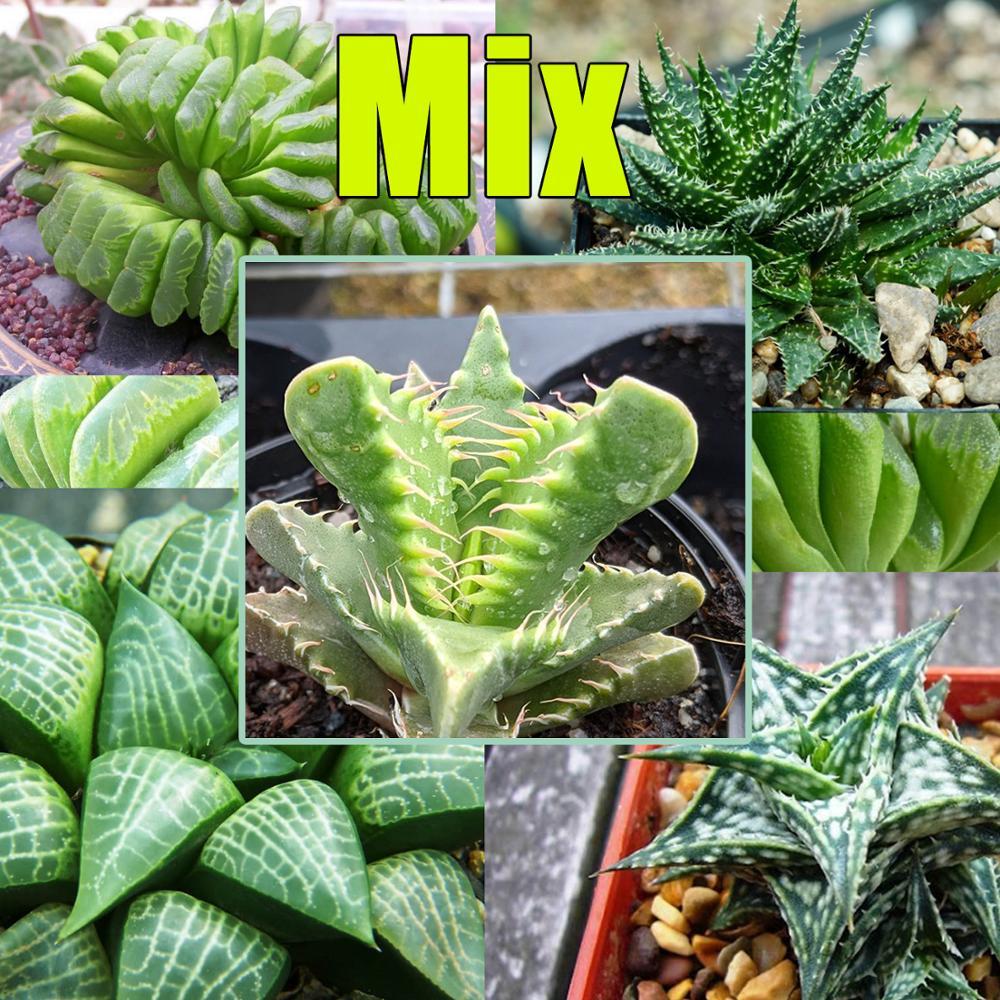 Seeds of succulents MIX.  Succulent ...