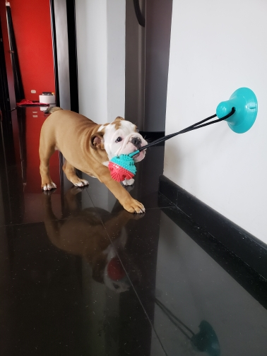 Suction Cup Dog Toy | Floor Suction Dog Toy | Suction Tug of War Dog Toy photo review