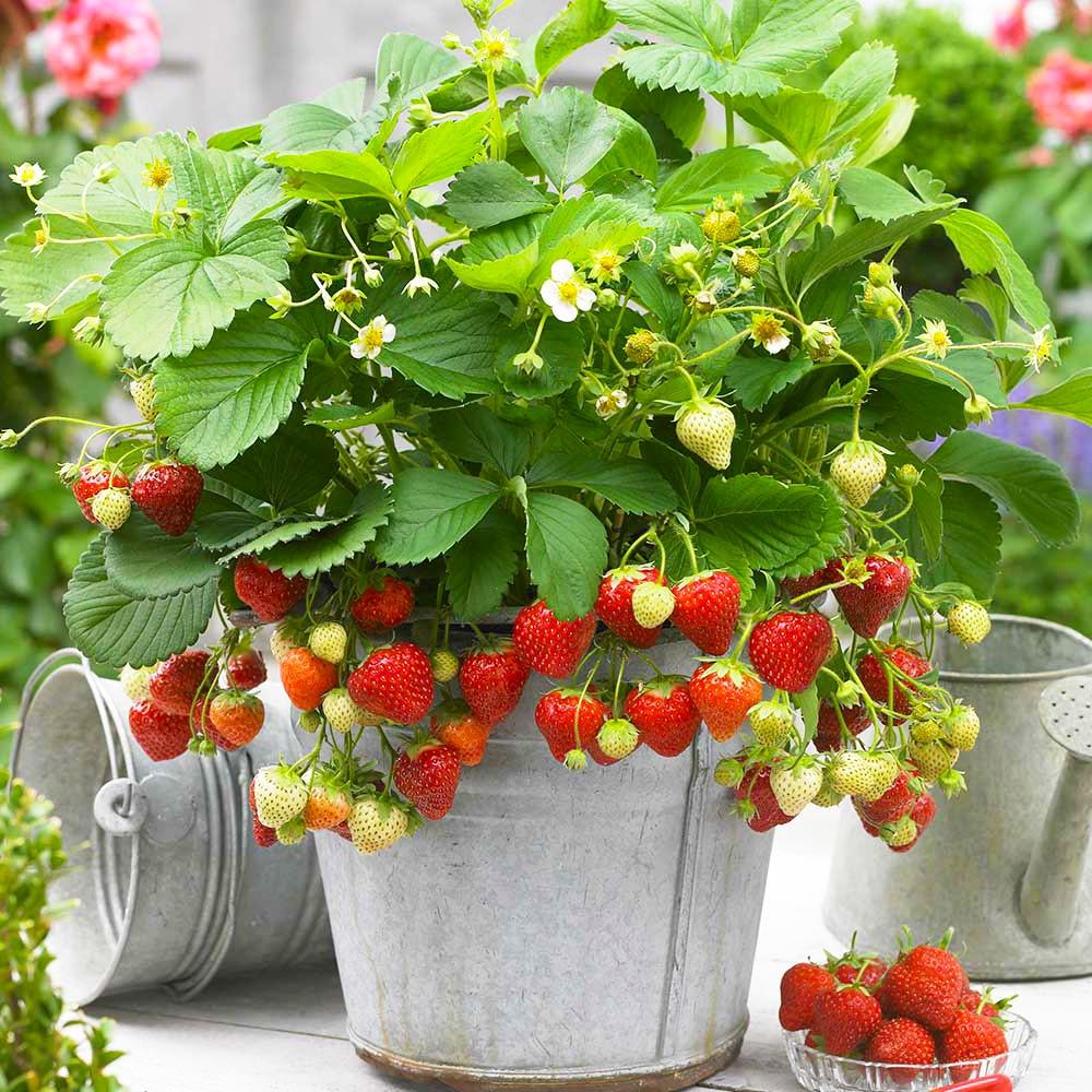 Strawberry Seeds strawberry seeds ...