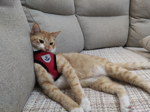 Kedi göğüs tasması
