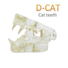 Medical-Display-Models Tooth Dental Cat Pet Instruction Pet-Veterinary
