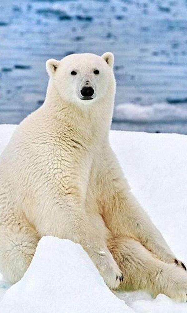 《北极熊》封面图片