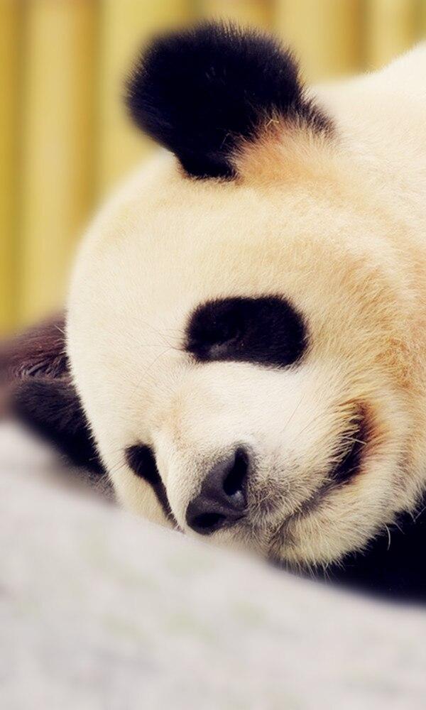《大熊猫》封面图片