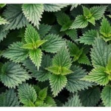 Nettle Is A Great Remedy For Treating Diseases FREE SHİPPİNG