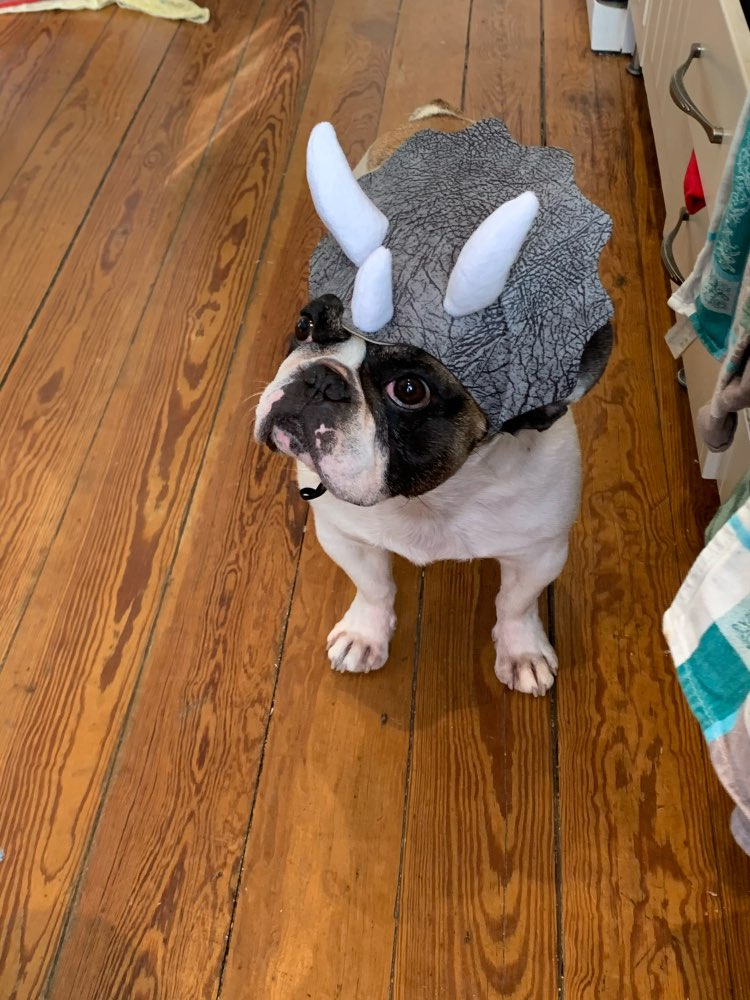 Triceratops Dog Costume Black | Dog Dinosaur Costume | Dog Costume photo review