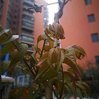 冬日的凉拌香椿的做法图解2
