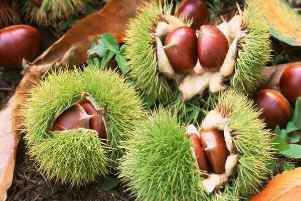 秋季到了吃板栗虽然好处多但要注意这四点-养生法典