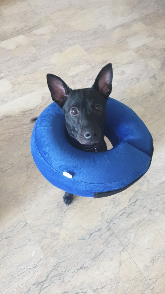 Kong Cloud Collar | Inflatable Dog Cone | Inflatable Dog Collar photo review