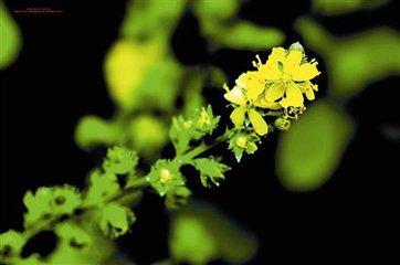 仙鹤草的实用功效可不仅仅是止血-养生法典