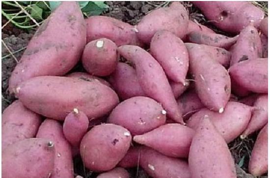 几种预处理方法使得红薯吃了以后不胀气-养生法典