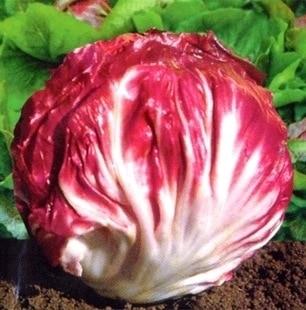 Красная капуста цикорий bonsais продажа полезные овощи Бонсай 100 шт.