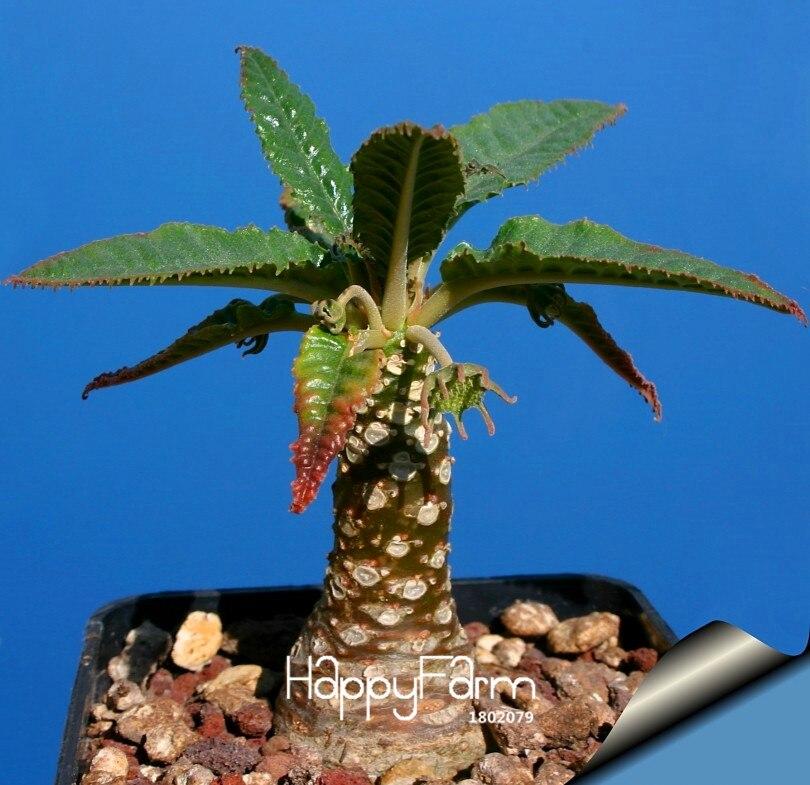 New 2018!100PCS/Pack Best rare Cactus Flower bonsai, giant shape , heat tolerant Succulent Perennial plant De Flores,#VU4WG
