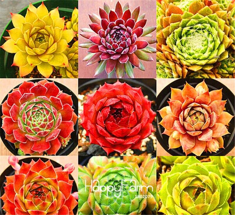 Best-Selling!Home Garden Plant 10 Pieces Rare Sempervivum Mix Succulent Plantas Flowers For Room,bonsai Potted Plants * Gift,#S