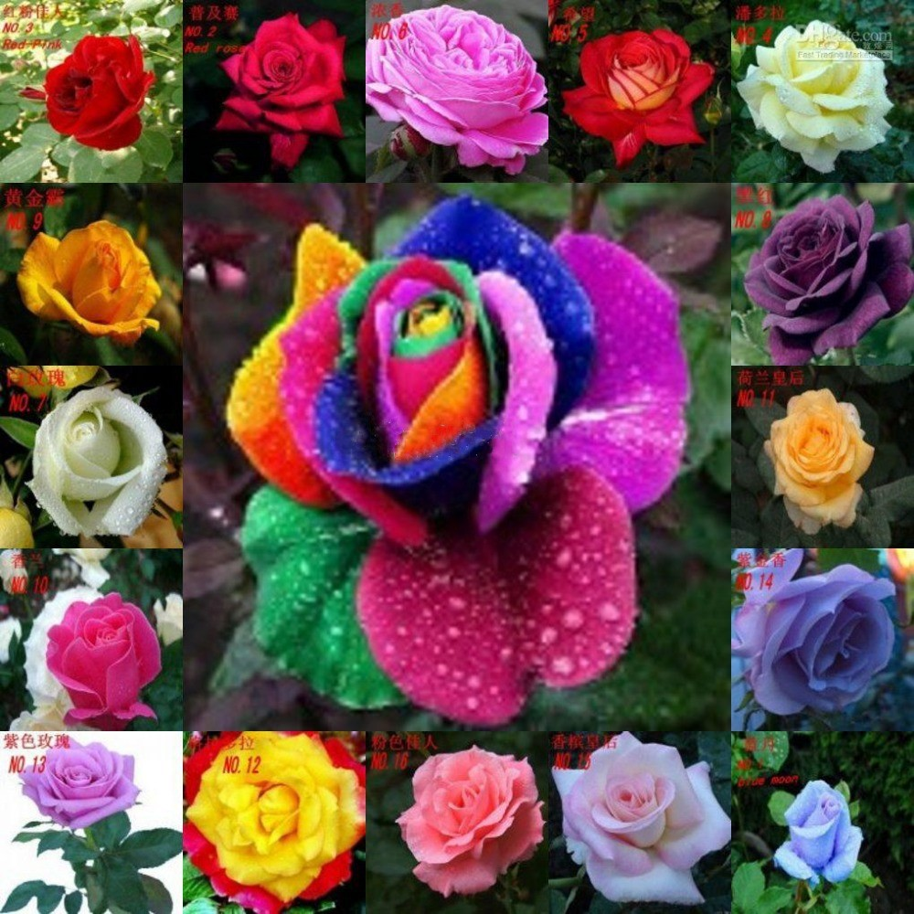 Online buy wholesale rainbow rose seeds from china rainbow for Buy rainbow rose seeds
