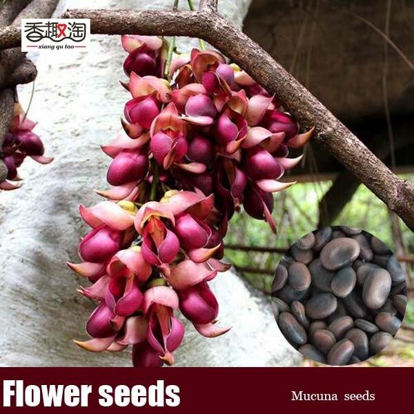 Tropics plant mucuna seeds perennial climbing flower seeds 2 tropics plant mucuna seeds perennial climbing flower seeds 2 particles bag mightylinksfo