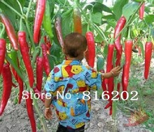 50 seeds/pack Vegetables seeds ten Giant Red New Spices Spicy Chili Pepper Seeds Plants Up To 50cm 50 Pcs seeds Long