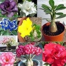 20 seeds/pack  Bonsai Desert Rose Flower Seeds adenium obesum Seeds Home Garden