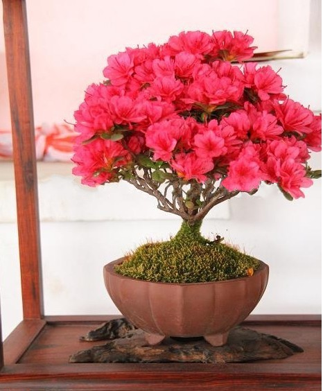 30 seeds/pack Bonsai potted plant red flowers crape myrtle tree seeds