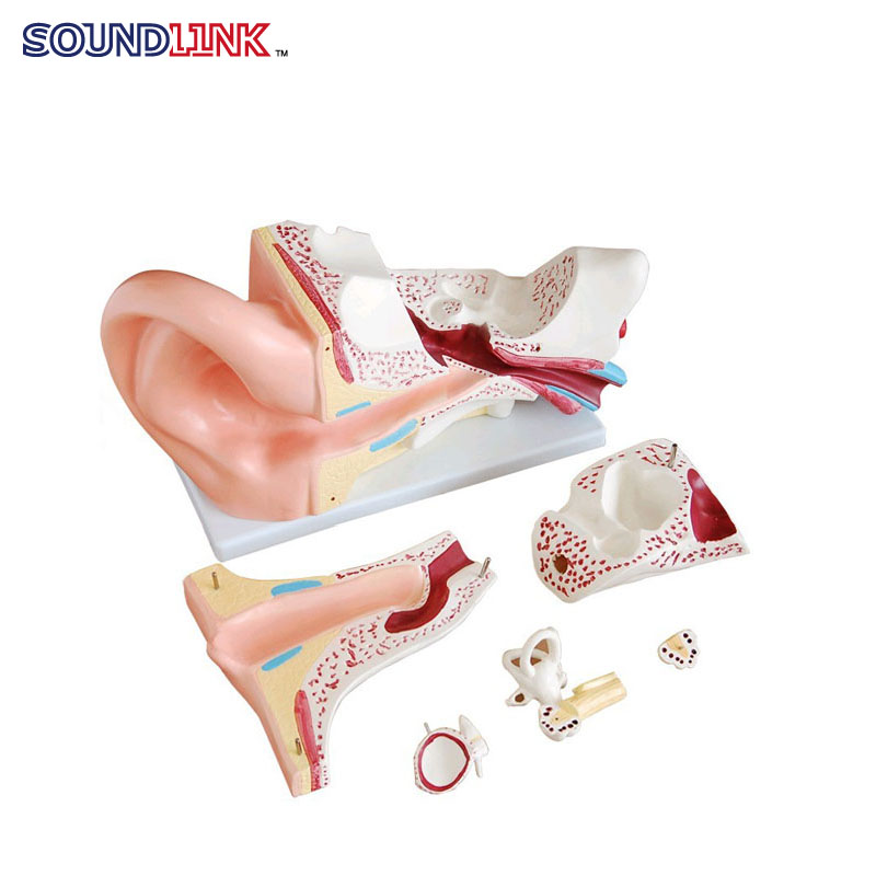 Ear Anatomy Model Ear Structure Enlarged Human Ear Model Anatomical Ear Educational Model listening teaching model ear anatomical model anatomy model auricle human ear external ear middle ear inner gasen ebh007