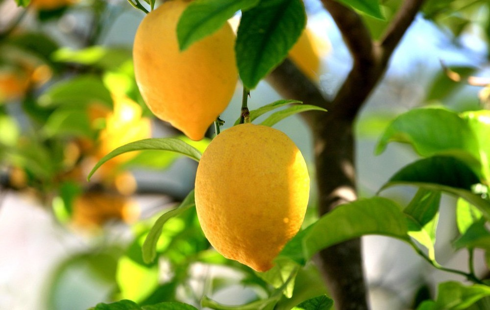Image result for lemon trees from seed