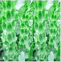 бесплатная доставка 20 шт. / сумка молуккских бальзам / molucella laevis семена цветов для DIY и сад