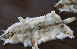 Best Quality and Cheap Price Coyote Fur Skin from Factory