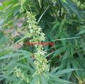 100 семян/мешок семян Конопли медицины конопли семена сушки зеленого чая, чтобы слабым ранним кишечного запор